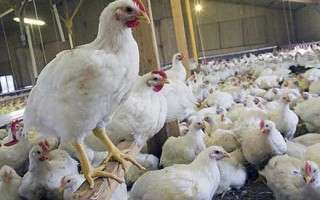 آیا میدانید مرغی که میخورید چیست؟