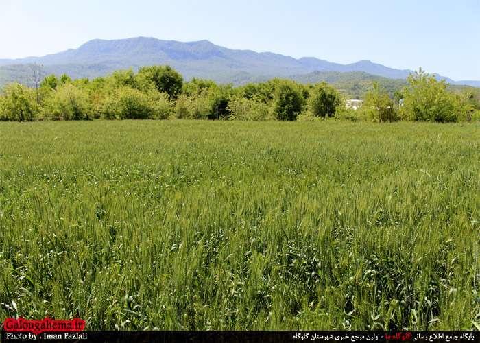 سبز  گندم در خاک بلاغ مازندران - تصاویر دیدنی از خوشههای سبز در گندم ...