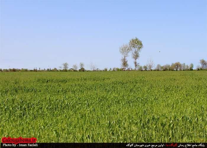 سبز  گندم در خاک تصاویر دیدنی از خوشههای سبز در گندمزارهای گلوگاه