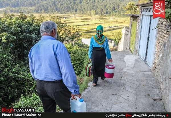 برداشت برنج در استان مازندران