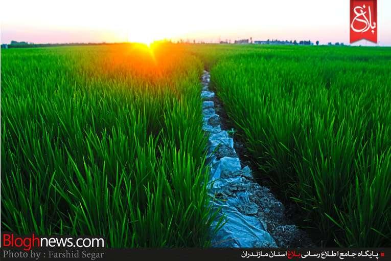 کشت برنج دوم در مازندران
