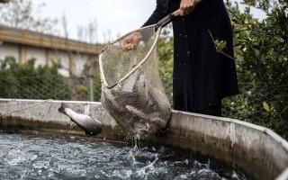 کاهش حاشیه سود پرورش ماهی به کیلویی هزار تومان/ منفعت 8 هزار تومانی دلالان در کش و قوس تولید و مصرف