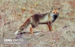روباه قرمز طالقان +عکس