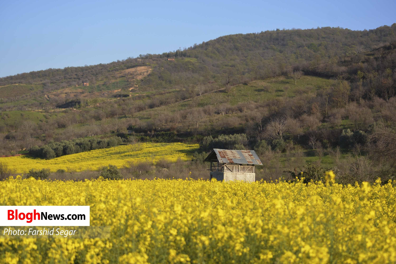 تصاویر زیبا از مزارع کلزا در مازندران