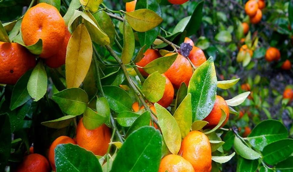 پیش بینی تولید 2.6 میلیون تن مرکبات در مازندران/بهره برداری از پایانه صادراتی میوه جویبار تا پایان امسال