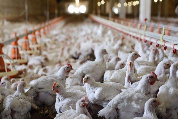 چالش جدی صنعت مرغ؛از سرکوب قیمتی توسط دولت تا تلفات ناشی از گرما