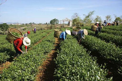۴۰ درصد از باغات چای را از دست داده ایم
