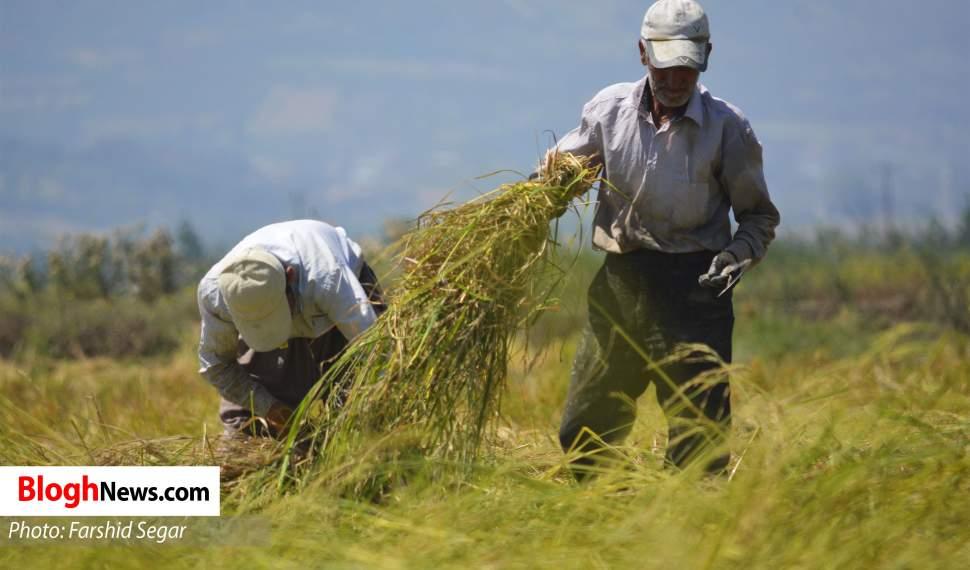 برداشت ۹۵ درصد از اراضی شالیزاری مازندران