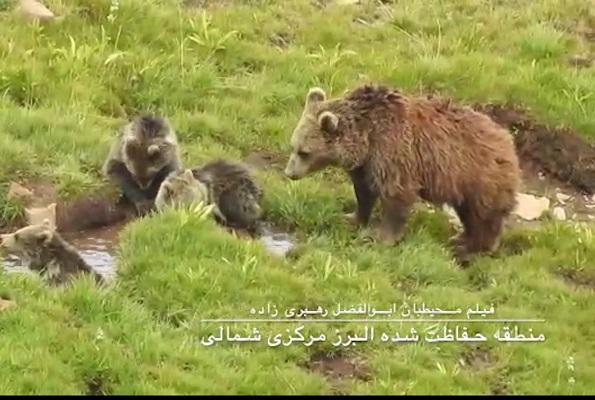تصاویری زیبا از خرس مادر به همراه ۳ تولهاش در مازندران