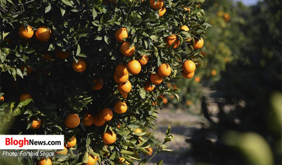 بدعهدی دولت روحانی در پرداخت مطالبات ۴۰ میلیاردی باغداران مازندرانی
