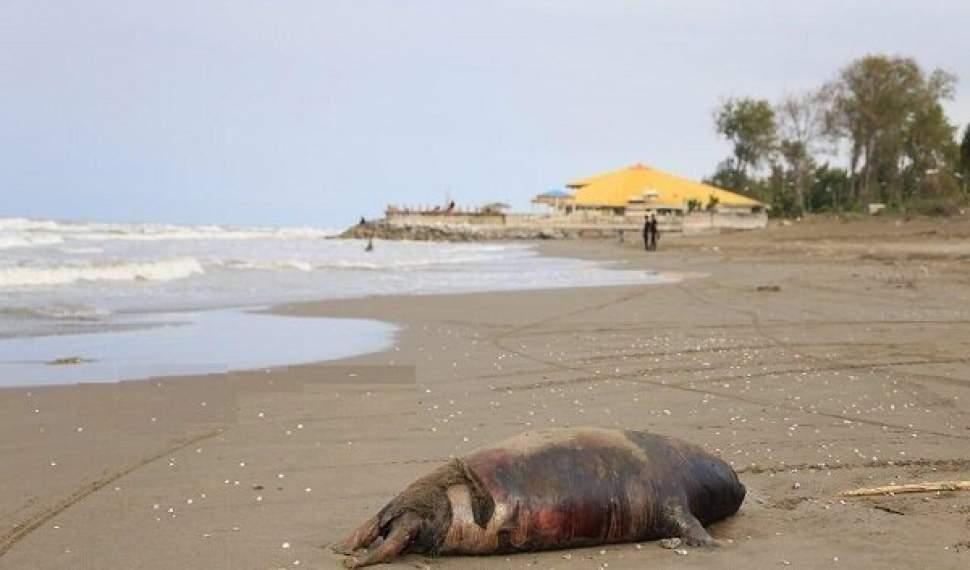 تنها یادگار «تتیس» در چند قدمی انقراض/افزایش 4 برابری تلفات فُک خزری در سواحل مازندران!