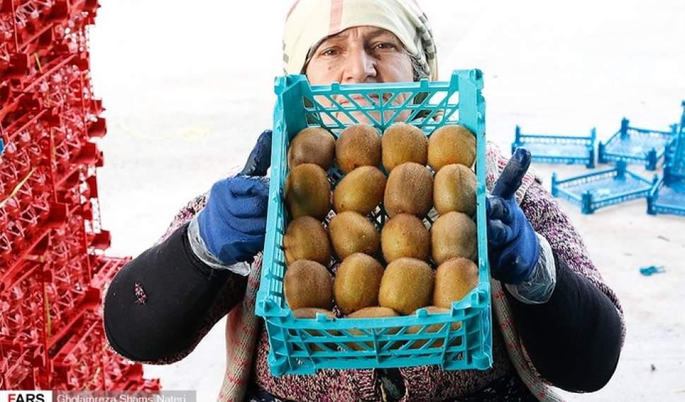 آغاز همزمان برداشت و صادرات کیوی در مازندران