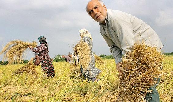 berenj 54 - آینده مبهم جوانان با حذف بیمه کشاورزی/دولت با سرپیچی از قانون پشت کشاورزان را خالی کرد!